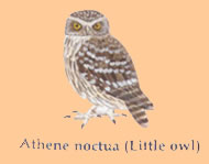 native to athens we get our very own owl!